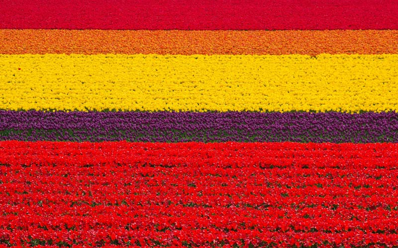 Tulip-Fields-Hollanda